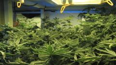 Marijuana garden zoom in out Stock Footage