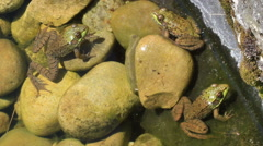 Colony of Three American Bullfrogs partly in the water - stock footage