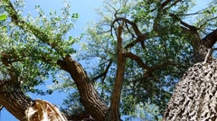 Panning Through A Massive Cottonwood Tree Stock Footage