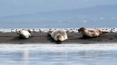 Seals on the shore of Iceland Stock Footage