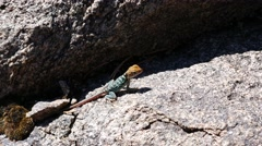 Young Colorful Juvenile Collared Lizard Stock Footage
