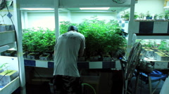 Guy working in grow room - stock footage