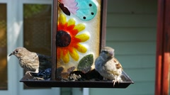 Common Sparrows Eating Sunflowers on A Bird Feeder Stock Footage