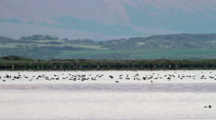 Flock of Birds in Iceland Lake Stock Footage