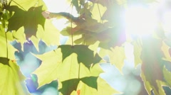 Green maple leaves swinging in the wind, close up . SLOW MOTION. Stock Footage
