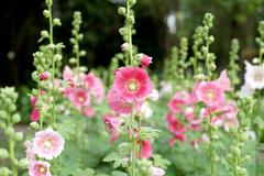 Stock Photo of beautiful hollyhock flower or althaea flower