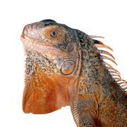 red iguana on white background - stock photo