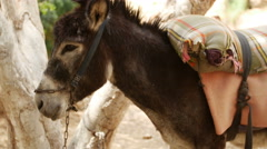 Black donkey standing Stock Footage