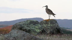 Whimbrel on A rock Stock Footage
