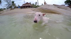 Dog Swimming in the Sea. Mini Bullterrier on Vacation - stock footage