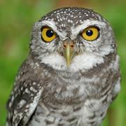 spotted owlet or athene brama bird - stock photo