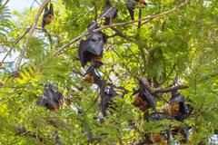 Flying foxes hanging on a tree. - stock photo