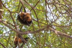 Flying foxes hanging on a tree. Stock Photos
