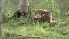 Lynx mother with cubs in early morning sun Stock Footage