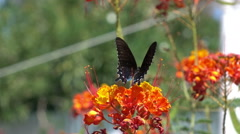 ultra slow motion black swallowtail butterfly consuming nectar on a flower - stock footage