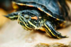 Small Red-ear Turtle, Pond Terrapin - stock photo