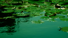 Lotus Leaves With Water Shining In The Sun Stock Footage