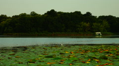 Lotus Leaves With Seagull, Pan. Sound. Stock Footage