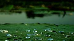 Water Drops On The Lotus Leaf (Nelumbo Nucifera). Lotus Effect. Stock Footage