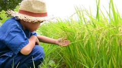 Young asian boy touch and check rice panicle on his paddy field. - stock footage