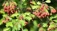 Stock Video Footage of Hawthorn medicinal plant with ripe berries