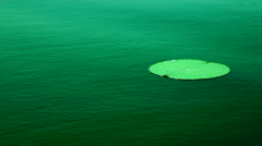 Lotus Leaf Floating Moved By The Wind, In Wind (Nelumbo Nucifera). Stock Footage