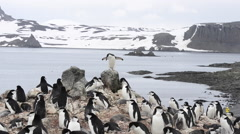 Chinstrap Penguins Stock Footage