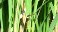 Ruddy darter, Sympetrum sanguineum, sitting on a leaf Stock Footage