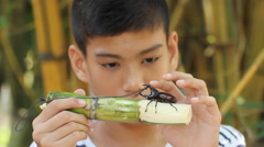 Boy looking his fighting rhinoceros beetles Stock Footage
