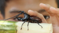 Boy take care his fighting rhinoceros beetles Stock Footage