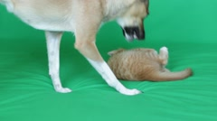 Kitten and dog on green screen Arkistovideo