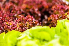 Homegrown salad macro - stock photo