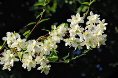 Flowered mock orange (Philadelphus) - stock photo