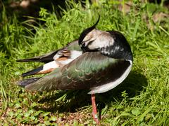Lapwing - vanellus vanellus - stock photo