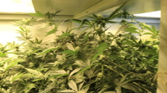 Medical marijuana growing zoom Stock Footage