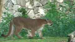 Puma walk in jungle at national reserve Stock Footage