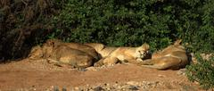 Lions basking in the sunshine - stock photo