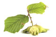 Hazelnut Leaves - stock photo