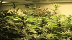 Medical marijuana being grown Stock Footage