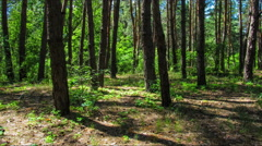 Trees in the coniferous forest, the shadow of pine trees moving in the woods Stock Footage