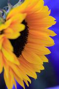 Side view of a sunflower Stock Photos
