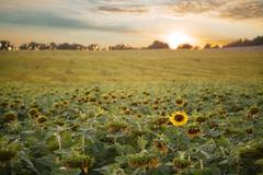 Sunflowers field with clouds at sunset - stock photo