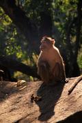 Langur Monkey, Goa, India Stock Photos