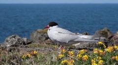 Arctic Tern Stock Footage