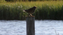 Meadow Pipit Stock Footage