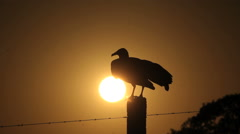 Vulture at sunset. Farm, nature, harbinger of death Stock Footage