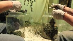 Stock Video Footage of 3 people trimming Medical marijuana in jars