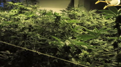 Medical marijuana blowing in wind zoom out / in Stock Footage