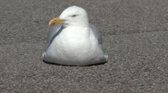 SeaGull resting on the tarmac Stock Footage