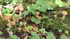 Mushrooms growing on a stump Stock Footage